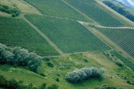 Vinski_vrh-vinograd-2-800