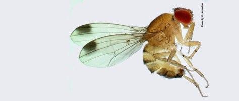 Drosophila-suzukii